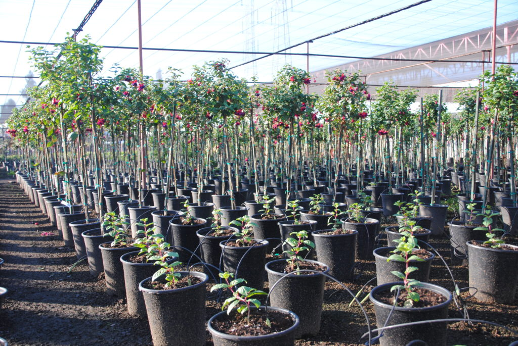Spot-Spitter Nursery Irrigation Cannabis Irrigation