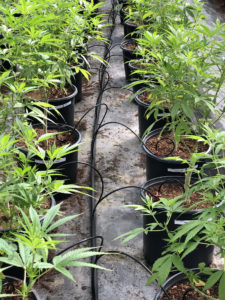 Cannabis Irrigation with the Spot-Spitter